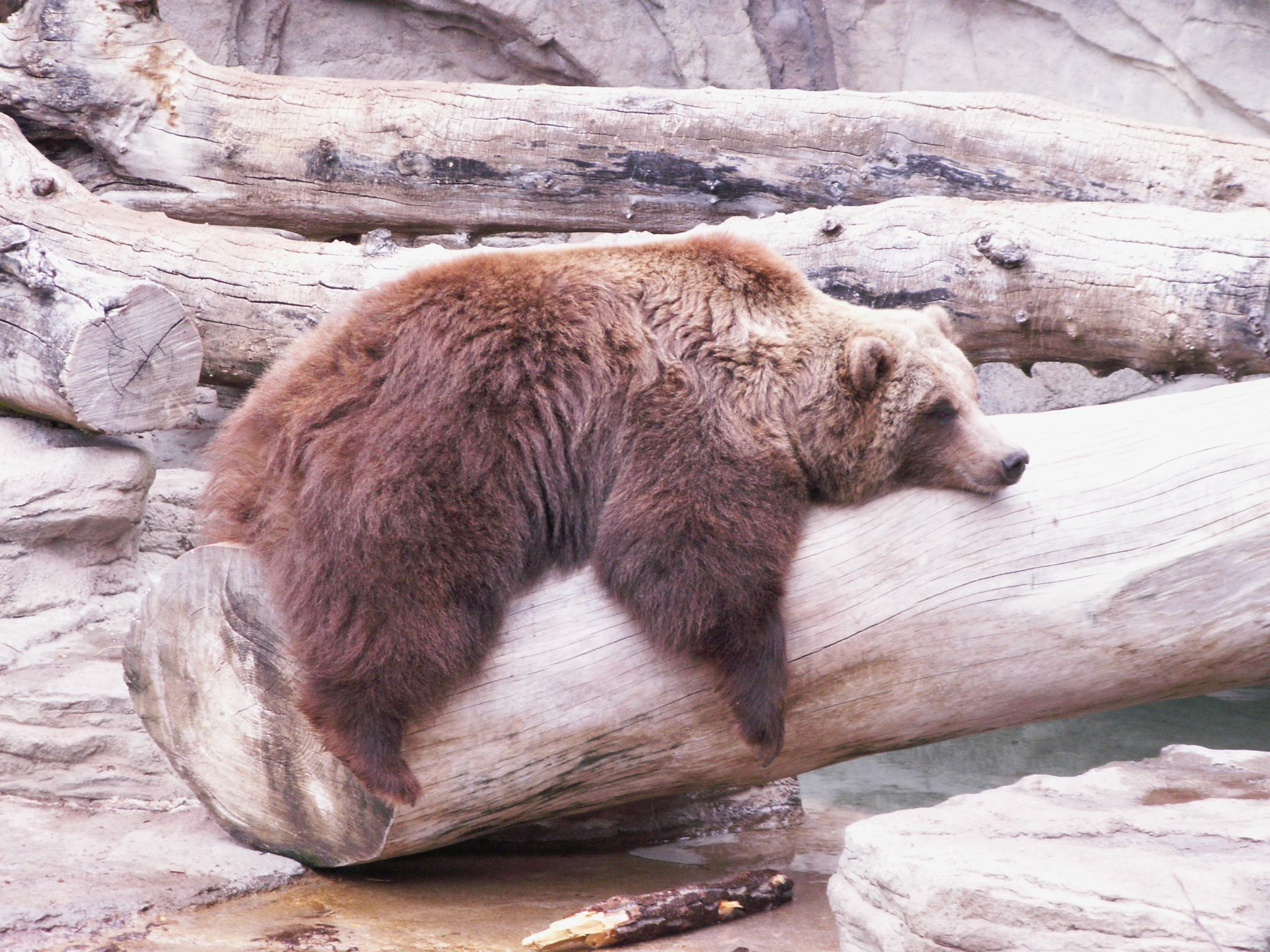 brownbearlounging